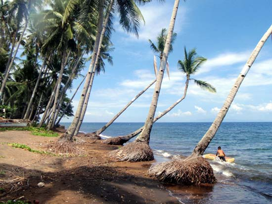 coconut trees by the shore